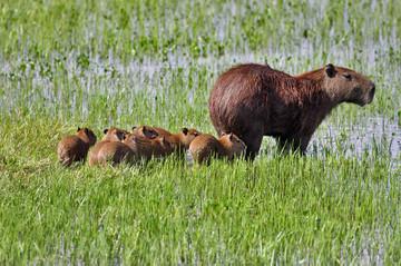 20130823capybara