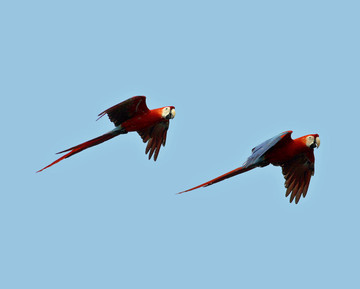 Wallpaper1280scarletmacaw