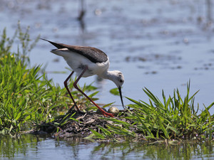 20170523blackwingedstilt3