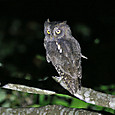 リュウキュウコノハズク Ryukyu Scope Owl