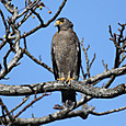 カンムリワシ Crested Serpent Eagle