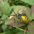 キバラヘリカメムシ 幼虫