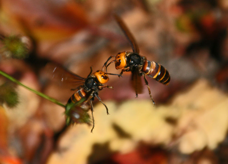 オオスズメバチ 昆虫: オオスズメバチ torilog.cocolog-nifty.com &a