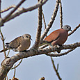 ベニバト Red-collared Dove