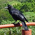 ハシブトガラス(亜種オサハシブトガラス) Jungle Crow(ssp.Osa J.G.))