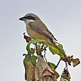 アカモズ(亜種シマアカモズ) Brown Shrike