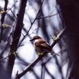アカモズ Brown Shrike