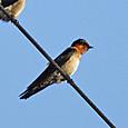 リュウキュウツバメ Pacific Swallow