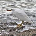 クロサギ(白色型) Pacific Reef-Egret