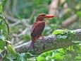 アカショウビン(亜種リュウキュウアカショウビン) Ruddy Kingfisher(Halcyon coromanda)