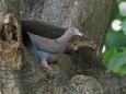 189 アカハシバト Red-billed Pigeon