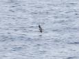 ハイイロウミツバメ Fork-tailed Storm Petrel