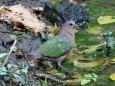キンバト[E:#x2640] Emerald Dove(Chalcophaps indica) female