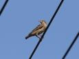 バライロムクドリ幼鳥